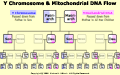 View Y Chromosome & mtDNA Flow diagram